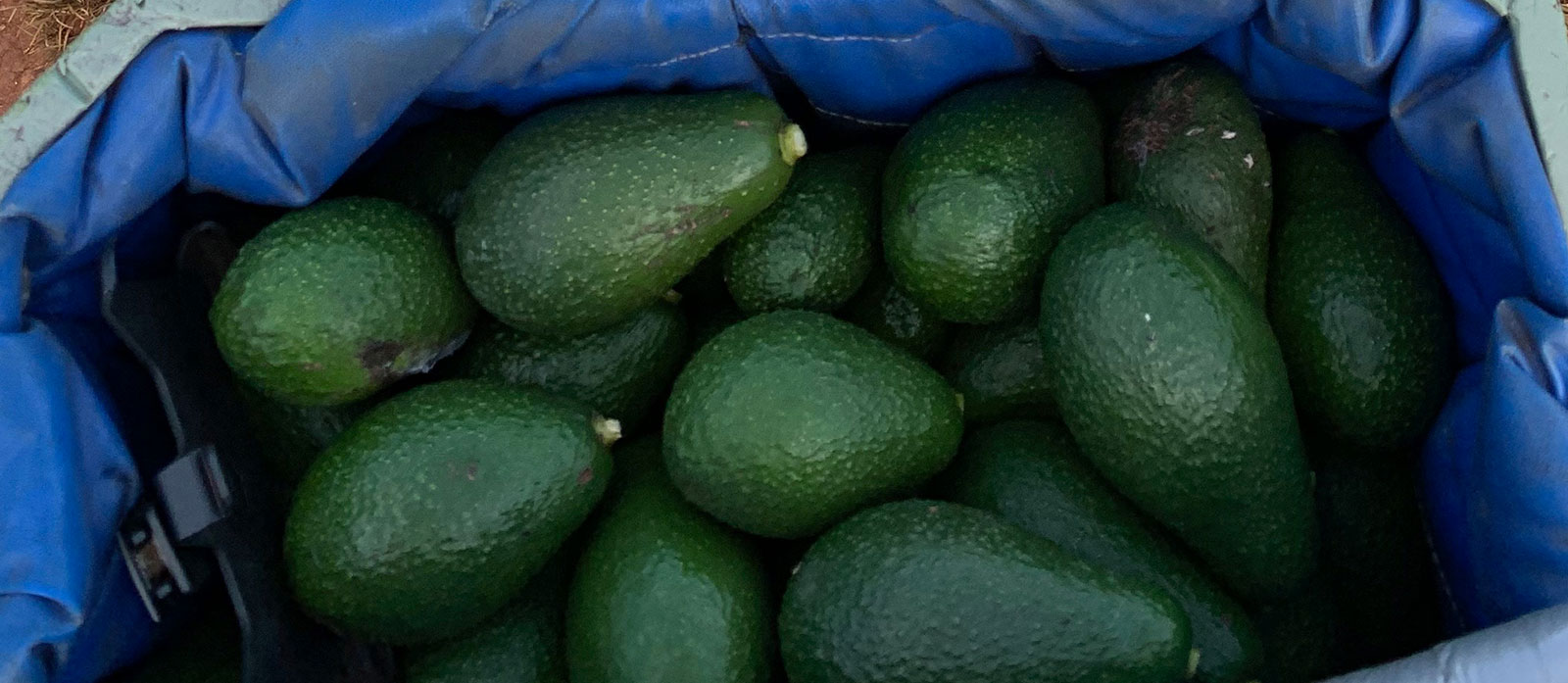 Picking Avocados